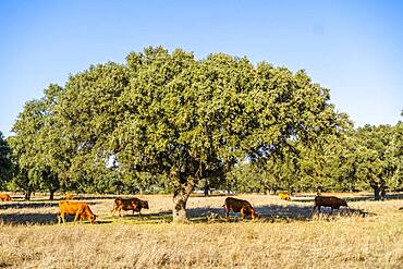 Alentejo landscape, red cows grazing among cork trees, Portugal, Europe