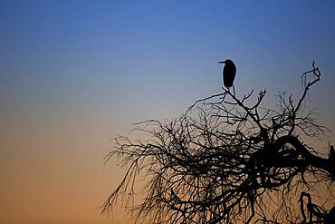 A grey heron (Ardea cinerea) sitting on a tree at sunrise, North Rhine-Westphalia, Germany, Europe