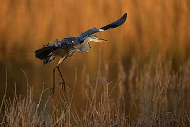 A Grey heron (Ardea cinerea) flying in the first light of day, North Rhine-Westphalia, Germany, Europe