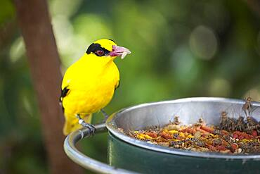 Feeding black-naped oriole of eastern asia with a worm in beak