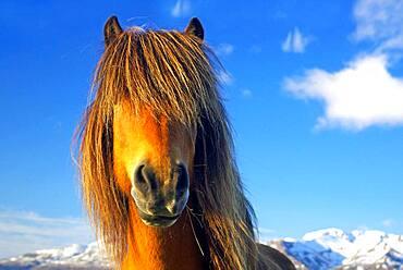 Icelandic horse, thick mane in front of eyes, Dalvik, Iceland, Europe
