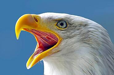 Head of a bald eagle, Sitka, Alaska United States