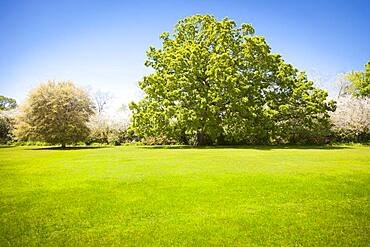 Beautiful green grass field with large majestic blossoming trees