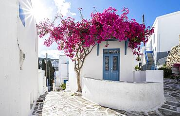 White-blue houses with blooming purple Bougainvillea (Bougainvillea), old town of Lefkes, Paros, Cyclades, Greece, Europe