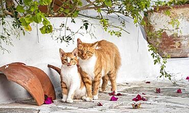 Tabby cat with kitten, Paros, Cyclades, Aegean Sea, Greece, Europe