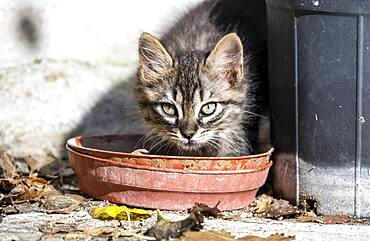 Baby cat drinking from a bowl, Paros, Cyclades, Aegean Sea, Greece, Europe