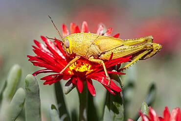 Egyptian locust (Anacridium aegyptium) on a flower, Paros, Aegean Sea, Greece, Europe