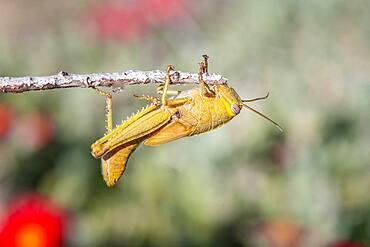 Egyptian locust (Anacridium aegyptium) on a branch Paros, Aegean Sea, Greece, Europe