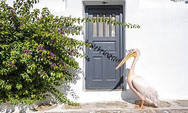 Pelican Petros II, Parika, Paros, Cyclades, Aegean Sea, Greece, Europe