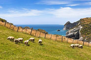 Flock of sheep at Cape Farewell, Golden Bay, South Island, New Zealand, Oceania