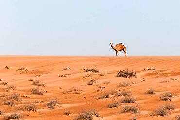 Camel in the desert, Wahiba Sands, Sultanate Of Oman