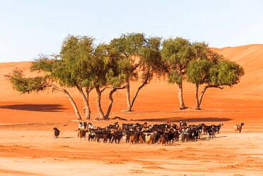 Flock of goats in the desert, Wahiba Sands, Sultanate Of Oman