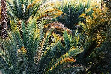 Close up of palm trees, Bidbid, Ad Dakhiliyah, Sultanate Of Oman