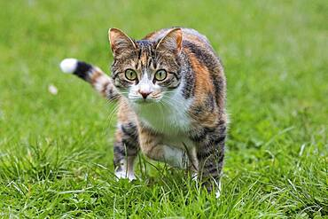 Cat (Felis catus), European shorthair, cat, tricolour, tortoiseshell cat, running in the grass, Baden-Wuerttemberg, Germany, Europe
