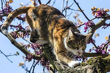 Cat (Felis catus), European shorthair, cat, tricolour, tortoiseshell cat, climbing Judas tree (Cercis siliquastrum) Judas Tree, Baden-Wuerttemberg, Germany, Europe