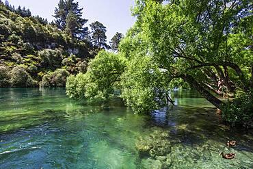 Guy on a tree, Waikato River, Waikato, North Island, New Zealand, Oceania