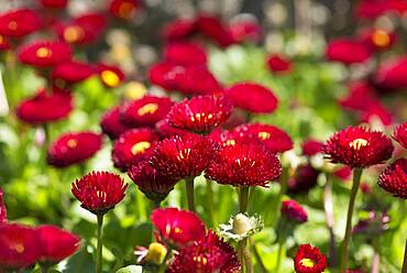 Red flowering Common daisy (Bellis perennis), Bavaria, Germany, Europe