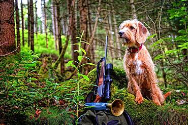 Hunting dog with hunting rifle, Steirische Rauhhaarbracke, Germany, Europe