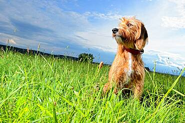 Hunting dog, Steirische Rauhhaarbracke, Germany, Europe