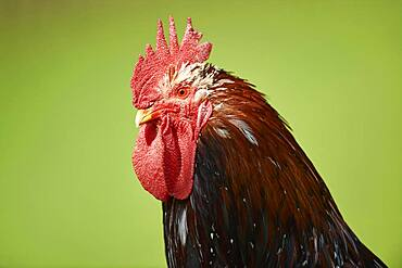Chicken (Gallus gallus domesticus), rooster, portrait, on a meadow, Upper Palatinate, Bavaria, Germany, Europe