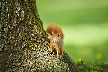 Red squirrel or Eurasian red squirrel (Sciurus vulgaris), wildlife, Frankonia, Bavaria, Germany, Europe