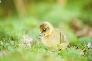 Greylag goose (Anser anser) chick on a meadow, Bavaria, Germany, Europe