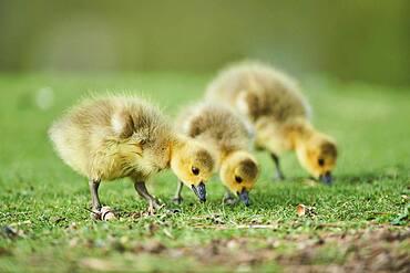 Canada goose (Branta canadensis) chicks on a meadow, Frankonia, Bavaria, Germany, Europe