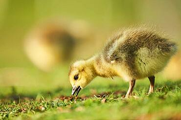 Canada goose (Branta canadensis) chick on a meadow, Frankonia, Bavaria, Germany, Europe