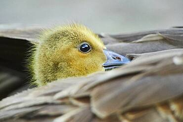 Canada goose (Branta canadensis) chick under the feathers of its mother, Frankonia, Bavaria, Germany, Europe