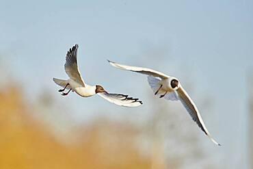 Black-headed gulls (Chroicocephalus ridibundus) flying above danubia river, Bavaria, Germany, Europe