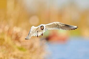 Black-headed gull (Chroicocephalus ridibundus) flying above danubia river, Bavaria, Germany, Europe