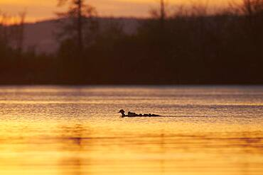 Common merganser (Mergus merganser) or goosander mother with her youngsters swimming in danubia river at sunset, Bavaria, Germany, Europe
