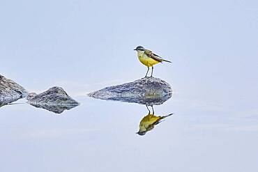 Western yellow wagtail (Motacilla flava) sitting on rock at danubia river in sunset, Bavaria, Germany, Europe