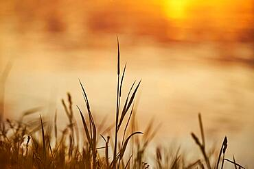 Grass growing beside danubia river at sunset, bavaria, Germany, Europe