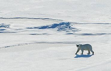 Polar bear (Ursus maritimus) in the high arctic near the North Pole
