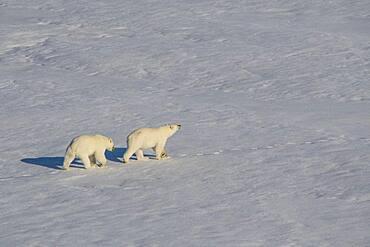 Polar bear (Ursus maritimus) cubs in the high arctic near the North Pole