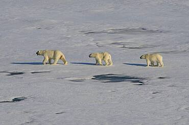Mother Polar bear (Ursus maritimus) with their cubs in the high arctic near the North Pole