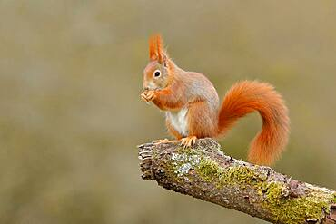 Squirrel (Sciurus vulgaris) sitting on a branch covered with moss, North Rhine-Westphalia, Germany, Europe