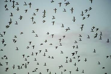 Flock of birds, near Esberg, Denmark, Europe