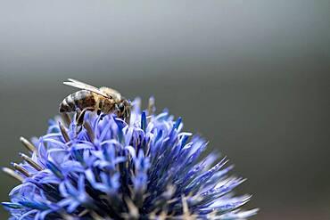 Honey bee (Apis mellifera), Altona, Hamburg, Germany, Europe