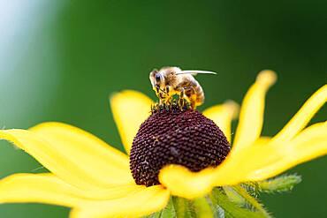 Honey bee (Apis mellifera) on yellow (Echinacea paradoxa) coneflower, Altona, Hamburg, Germany, Europe