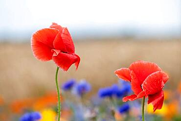 Flowering strips with poppies (Papaver), Fehmarn Island, Schleswig Holstein, Germany, Europe
