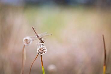 Odonate (Odonata), Moessensee, Mecklenburg-Vorpommern, Germany, Europe
