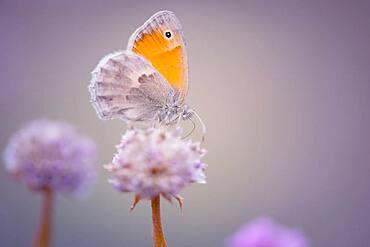 Butterfly (Lepidoptera), Moessensee, Mecklenburg-Vorpommern, Germany, Europe