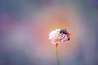 Flying ant (Formicidae), Moessensee, Mecklenburg-Vorpommern, Germany, Europe