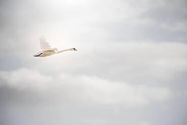 Mute swan (Cygnus olor), Near Esbjerg, Denmark, Europe