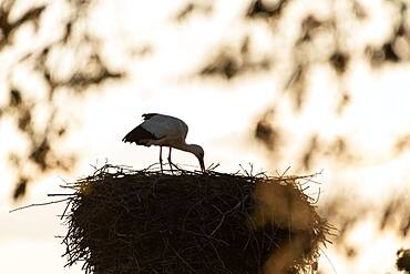 Stork (Ciconiidae) turning eggs, Prignitz, Brandenburg, Germany, Europe