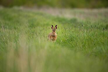 European hare (Lepus europaeus), Prignitz, Brandenburg, Germany, Europe