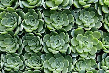 Arrangement of succulents, Echeveria, Germany, Europe