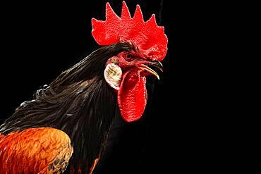 Cock, Vorwerk chicken, germany
